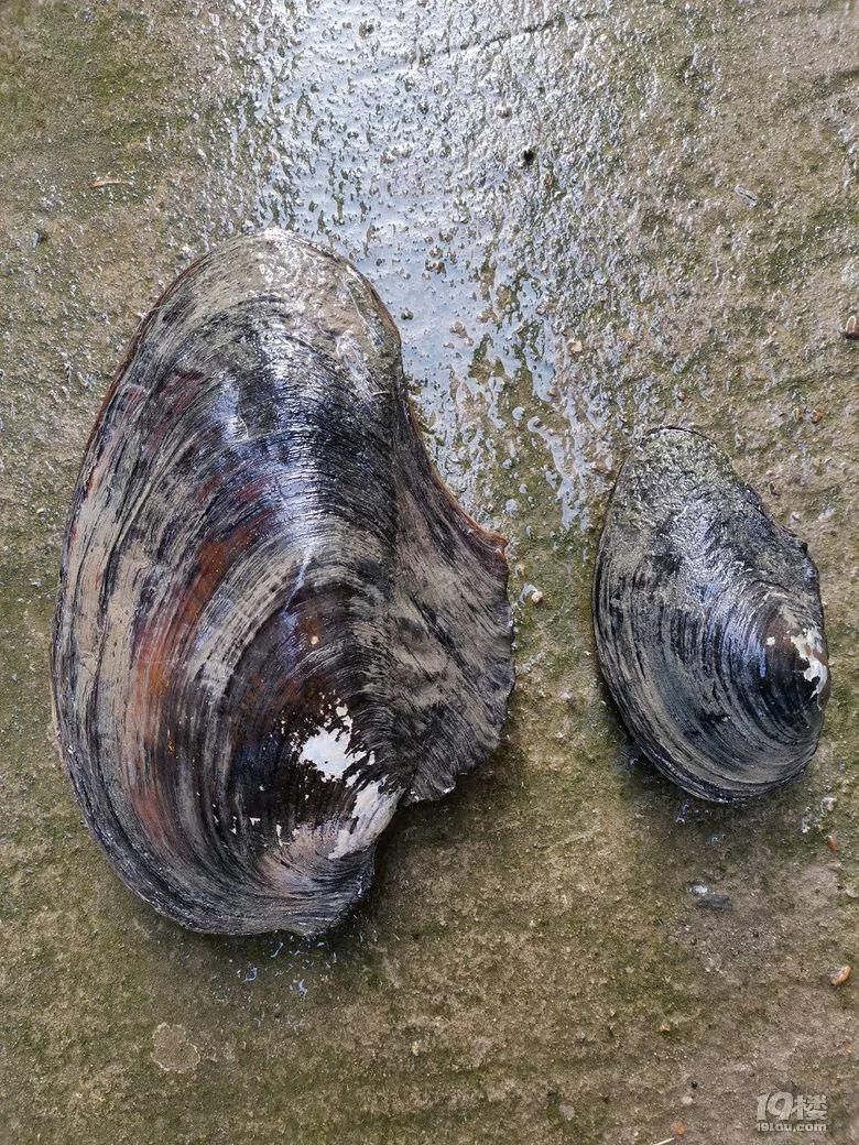 """摸到一只""""蚌壳精"""",蚌壳上都是褶皱,你们猜猜它多少岁了"""
