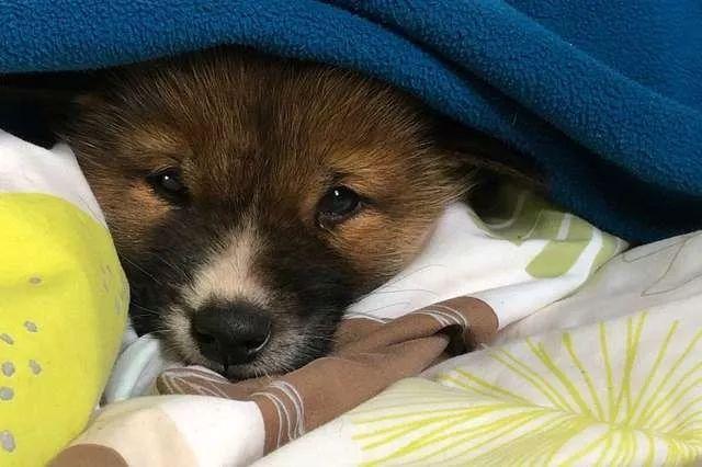 天上掉下来个狗宝宝,不仅长得超萌,还是个濒危品种...