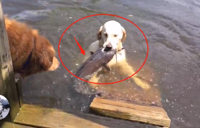 原创 金毛下河捉了条5斤大鱼,为了能吃点肉,狗子真是操碎了心