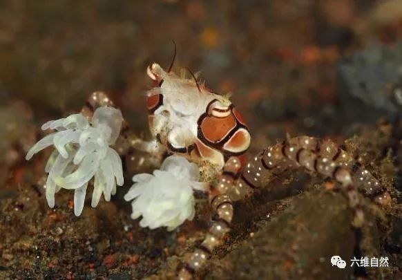 没有钳子的蟹类,却将有毒海葵当成手套拳击退敌,与海葵形成联盟