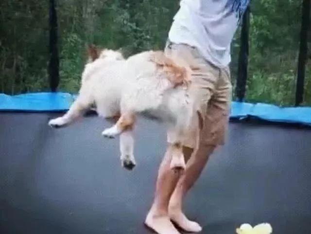 主人带柯基去玩蹦床,蹦到怀疑狗生,主人汪错了……