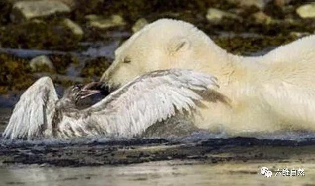 北极熊以为能轻易捕捉海鸥,用了十多分钟,反被海鸥从熊口脱险!