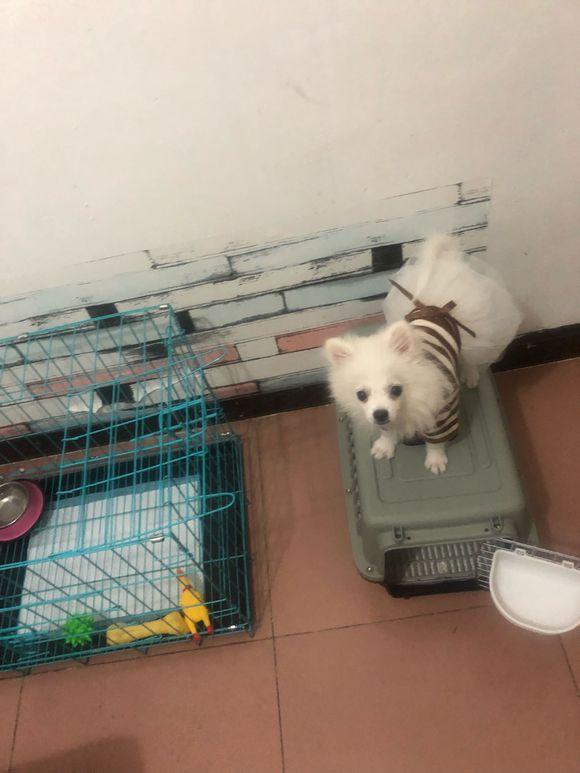 原创 博美知道主人刚换了工作,没空陪自己玩,狗:我在家等你!