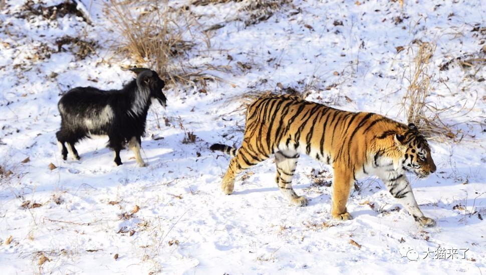 """原创 """"世界上第一只驯服老虎的羊""""去世,人类将为其立碑"""