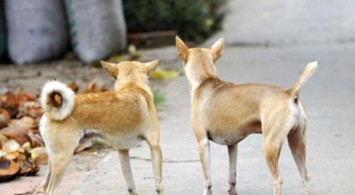 狗狗的尾巴相当于嘴巴,这几种情况,其实是在告诉你不同的事