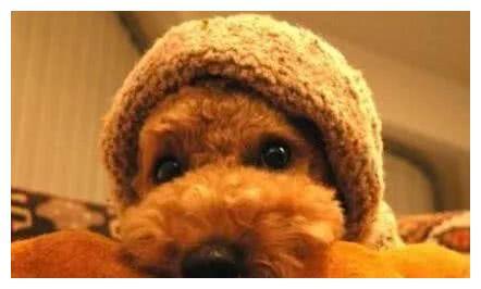 """如果泰迪犬对你有这几种行为,说明你没有""""白养"""",它很爱你"""