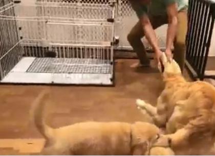 金毛和主人玩拔河,却被小狗咬住尾巴,狗狗:你是猪队友吗