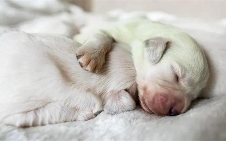 原创 女子养了只金毛生了一窝小奶狗,看清它们的样子后,顿时满脸复杂