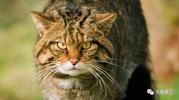原创 4只高地虎幼崽亮相,野外仅剩几十只,与家猫杂交致其功能性灭绝