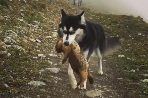 原创 主人带二哈去爬山,半路上狗子不见了,找到它时却笑翻了