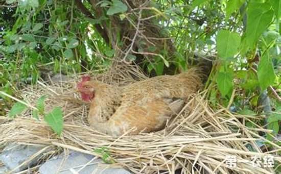 山鸡(土鸡)种蛋如何进行消毒?