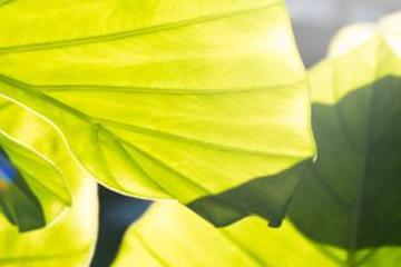 龟背竹叶子发黄处理方法图片