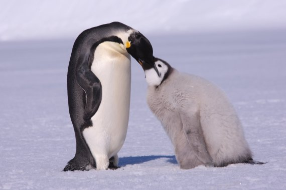 气候变暖或致帝企鹅本世纪末灭绝:南极洲帝企鹅减少86%_研究