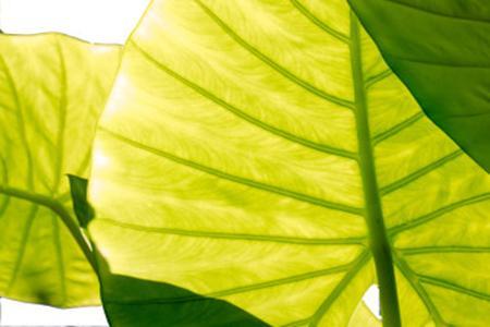 龟背竹叶子发黄了怎么办 为什么会这样图片