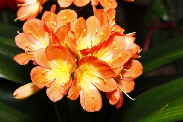 君子兰不长叶不开花,直接砍一刀,盆里嫩芽装不完