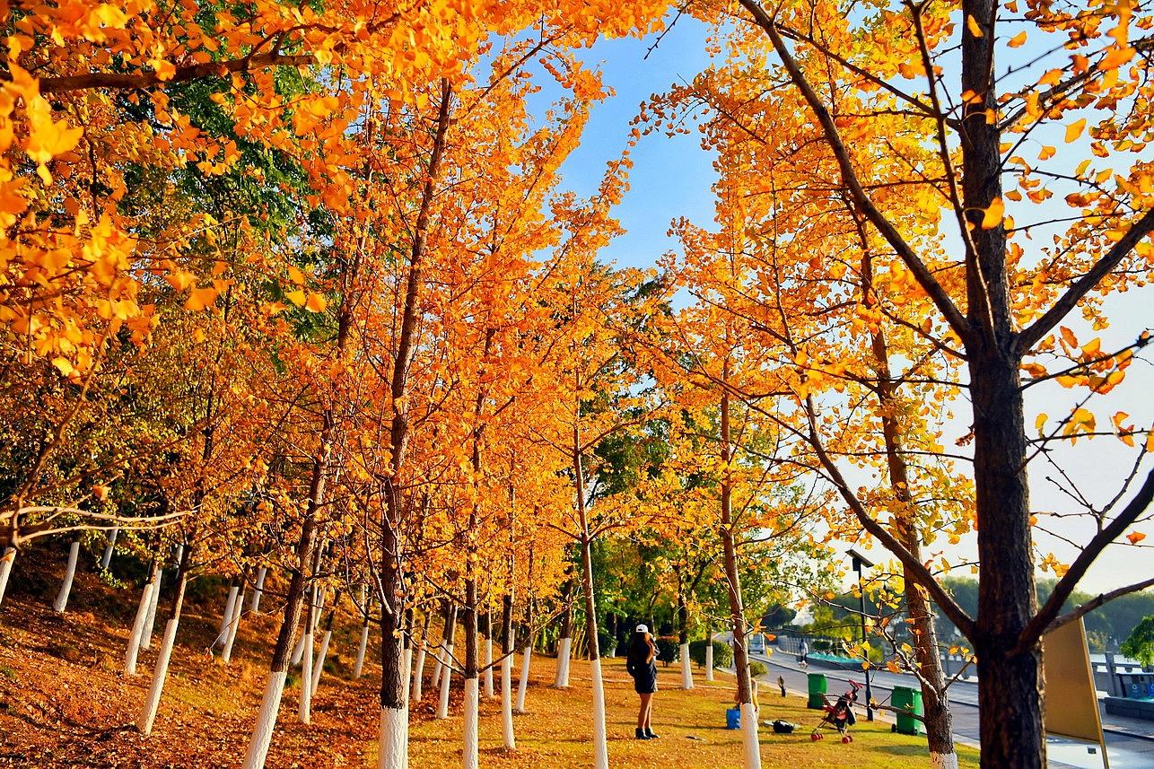 【实拍】遍地黄金甲,象湖水岸银杏色染醉美初冬秋色