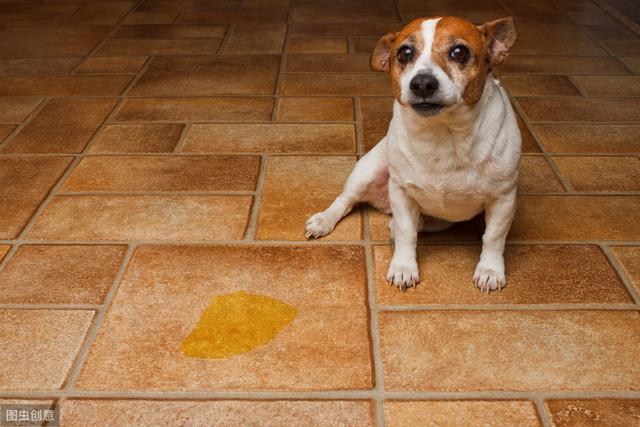 经过训练的狗狗,为什么还会在家里乱尿尿?