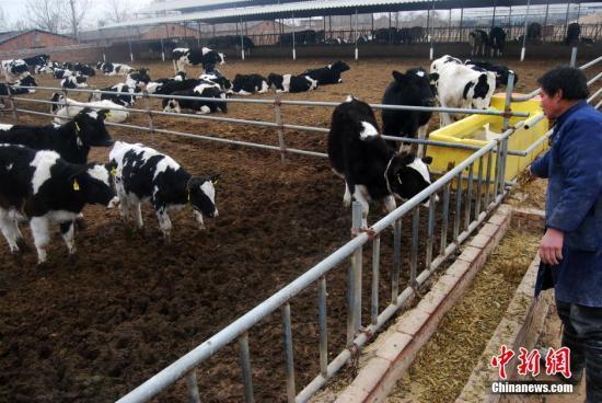 农业部:推动由喝奶向吃奶转变 增加干乳制品生产_奶牛