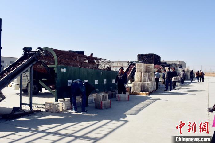 新疆且末县逾19万亩红枣园迎采收季(图)_检测