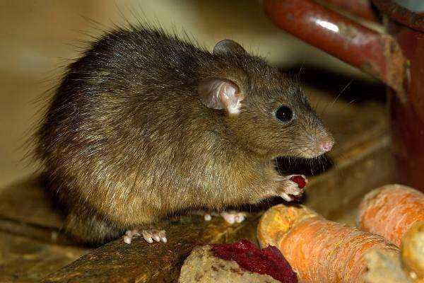 鼠疫是由鼠疫耶尔森菌引起的自然疫源性疾病,通常在啮齿动物之间流行图片