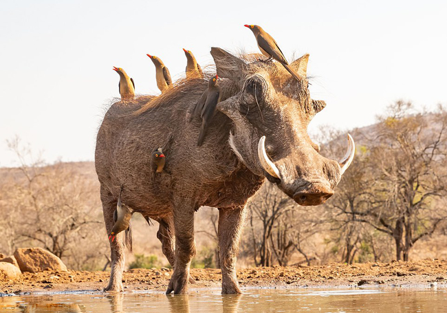 摄影师南非拍到野猪背上站着五彩鸟儿似电影中角色_加里·琼斯