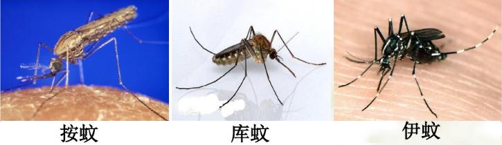 家庭常见蚊虫种类