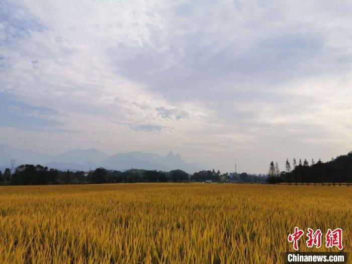 浙江单季晚稻最高亩产突破1100公斤