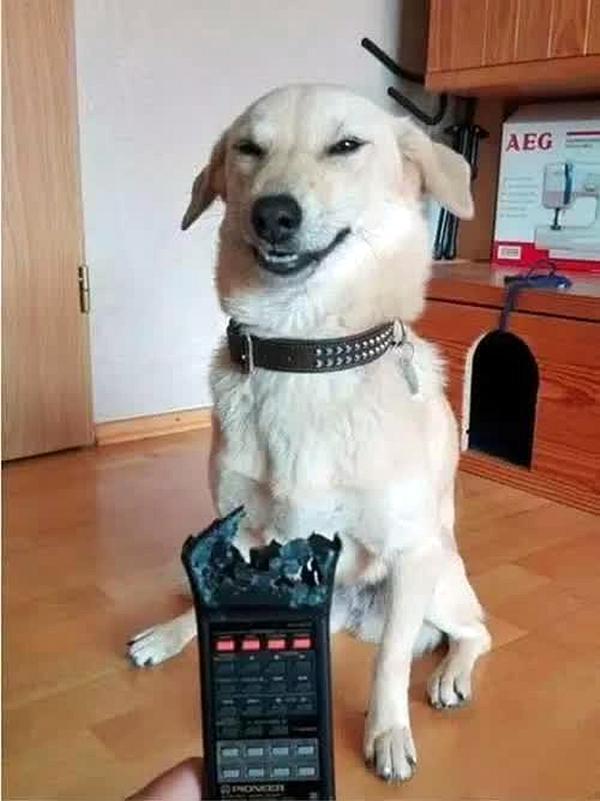 狗狗拆家搞得一团糟,刚想生气,却被狗子表情笑岔气,满眼求生欲