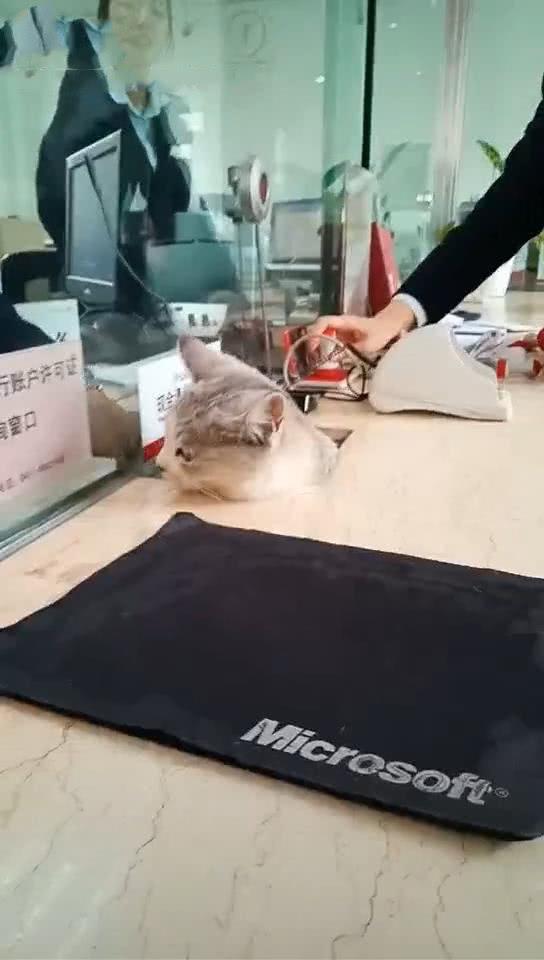原创 猫躺在银行柜台里面,中途对着窗口叫,猫:帮我看看存多少鱼干了