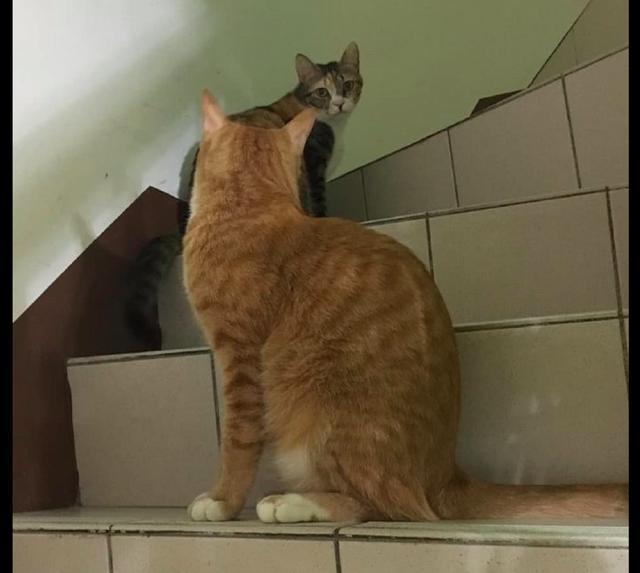 两只猫咪在楼梯口偶遇,含情脉脉的看着对方几秒钟,转角遇见爱?