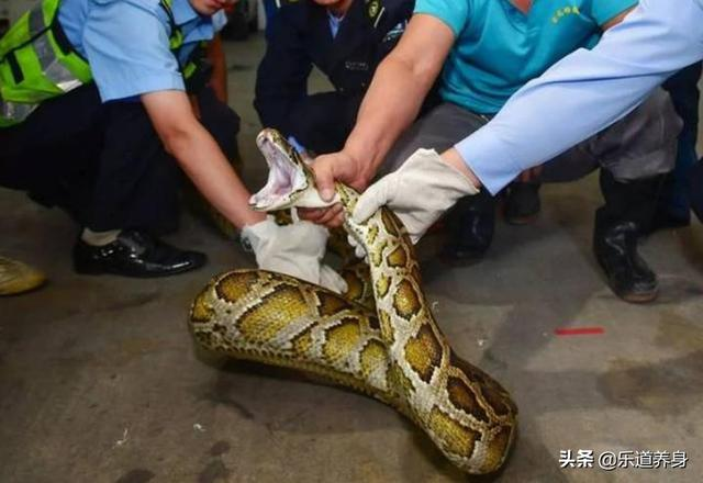 天花板掉下大蟒蛇,被民警和群众捕获,移交佛山市野生动物