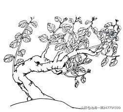 桂花是我国有名的名花之一,桂花也分四种,分别是丹桂、四季桂、金桂、银桂,桂花开的花特别的香,在很远处就会闻到,今天整理的是桂树简笔画图片_桂花树的   画法   ,教大家画桂树简笔画图片以及桂花树的画法   素材   大全