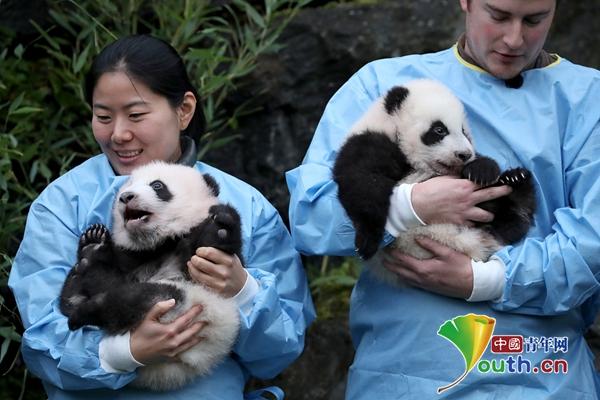 """比利时新生双胞胎大熊猫宝宝亮相 取名""""宝弟""""""""宝妹""""_中欧新闻_欧洲中文网"""
