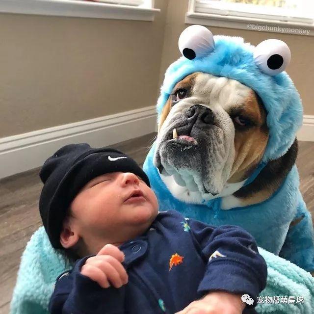 霸气老虎狗转型成为超级保姆,变身枕头和抱枕,你要的样子我都有!