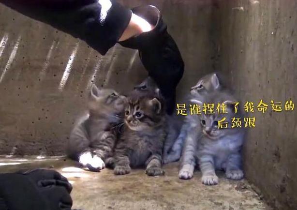 小流浪猫被人类所救,高颜值意外抢手:是谁捏住了我命运的后颈跟