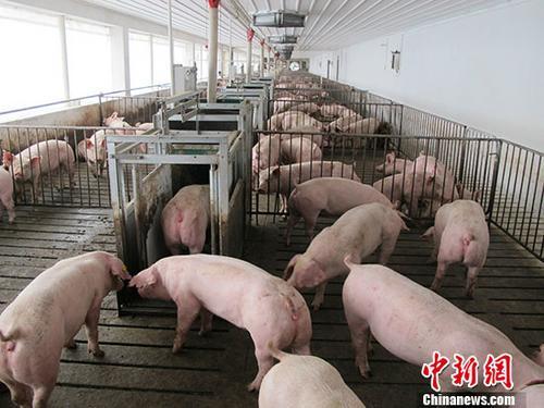 市面上存在非洲猪瘟商品化疫苗?农业农村部辟谣_生产