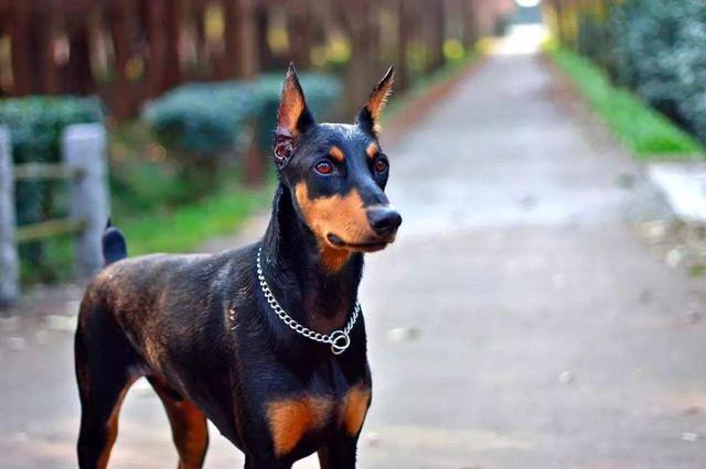 原创 狗狗断尾居然有这7个理由,你能接受哪几条?