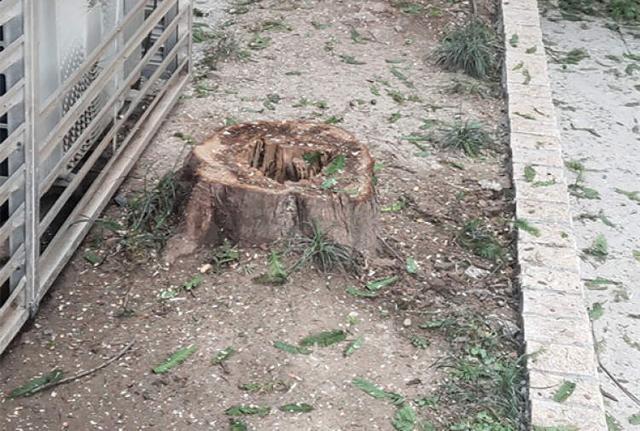 """嚣张白蚁蛀空大树!南汇路弄堂2棵""""病危""""水杉今日终于被砍了"""