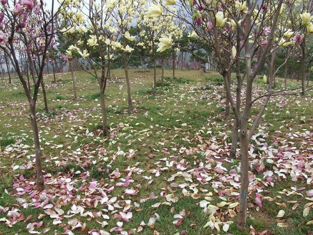 珍稀濒危植物莓蕊玉兰资源繁育与栽培技术