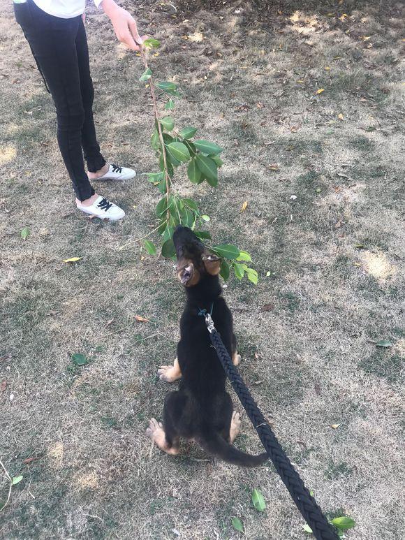 """路上捡了个树枝,德牧以为是""""逗狗棒"""",它给抢走了"""