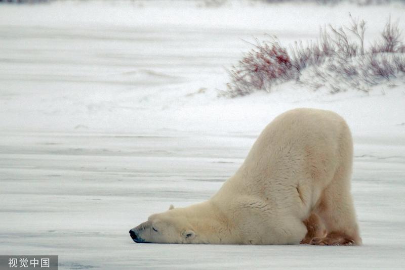 加拿大一北极熊撅屁股动作滑稽像极了赖床的你_丘吉尔