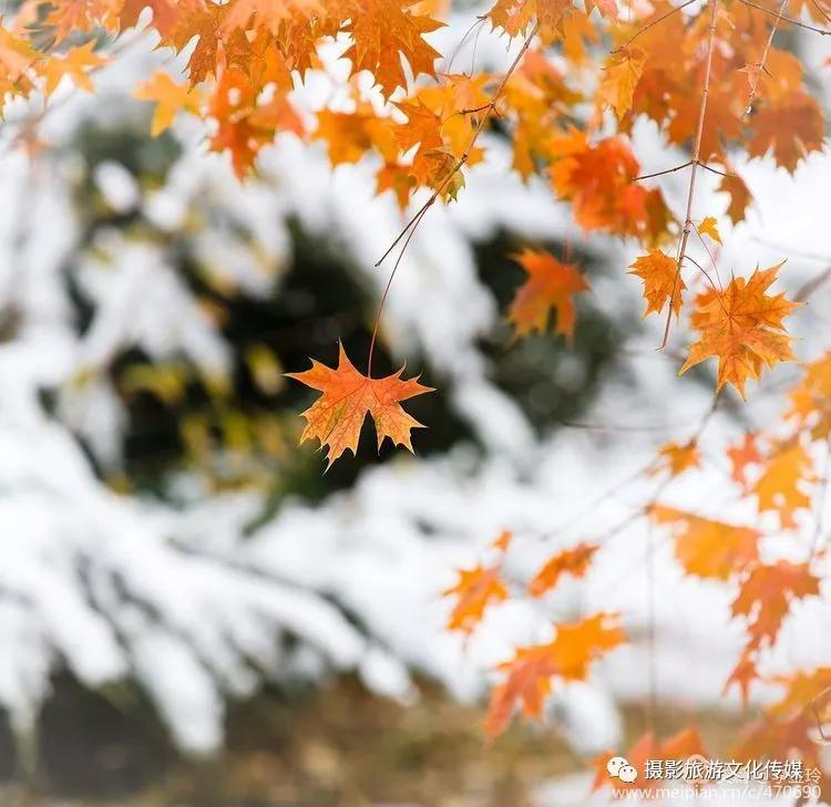 《雪染的枫彩》-李金玲摄影作品欣赏