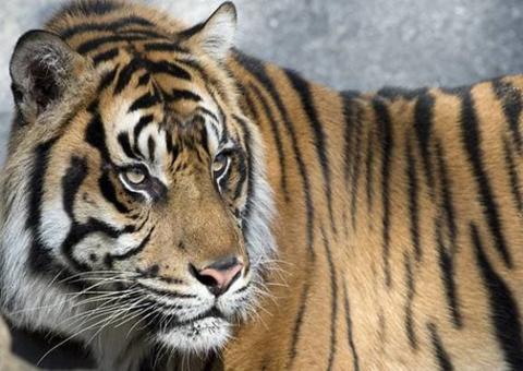 印尼苏门答腊虎袭人致一死一重伤报栖息地被破坏之仇?