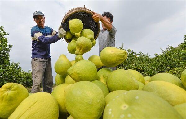 小果实有大作为⑩丨柚子飘香增收路