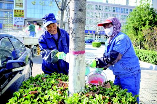 【图片新闻】平凉市公用局给行道树进行冬季防护涂白