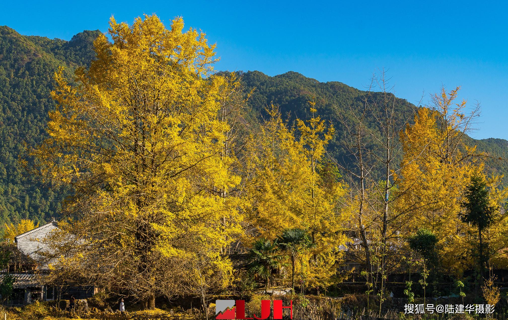 银杏叶黄了的时候,去腾冲看最美的乡村