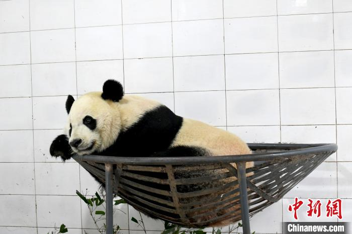 """旅美大熊猫""""贝贝""""回到中国大熊猫保护研究中心"""