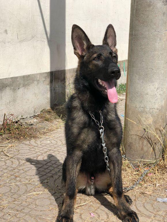 """原创 德牧平时拴在家,出门时还有人跟着,狗:我成""""罪犯""""了!"""
