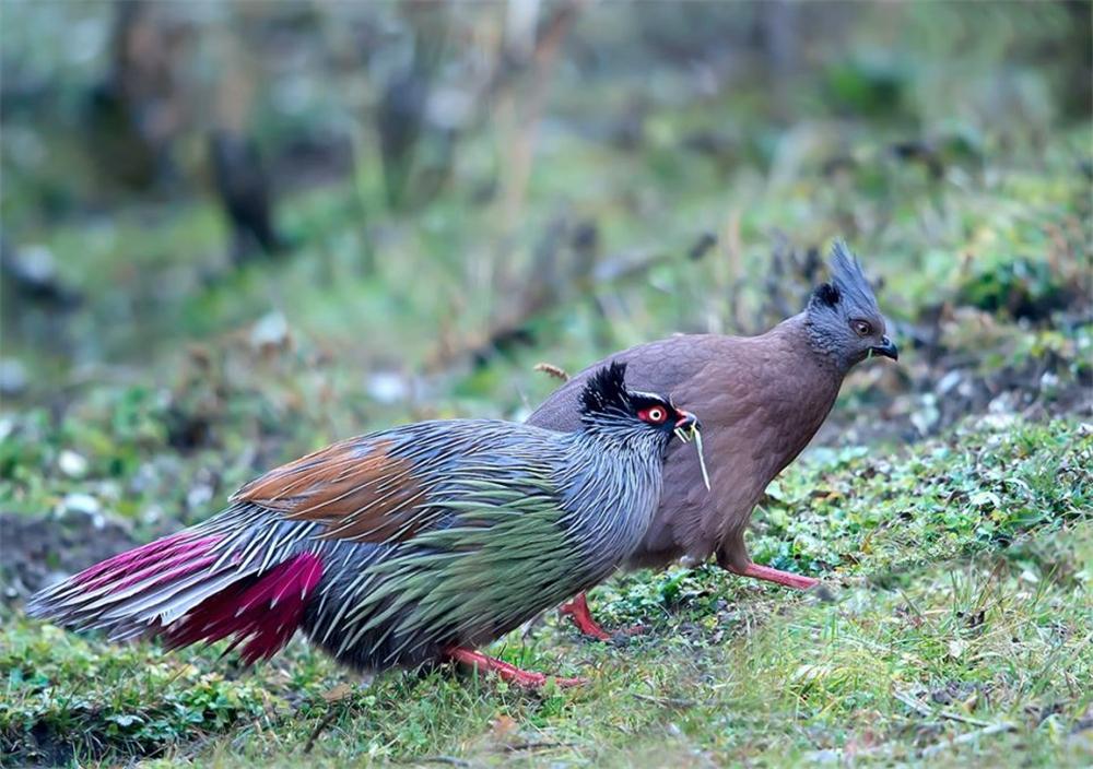 西藏发现一种怪鸡,红脸,红脚,红尾巴,被捉住就不吃不喝绝食而亡
