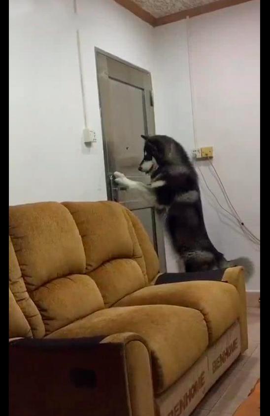 哈士奇把狗爪子搭在门把手上,使劲一按把门打开了,二哈也不傻啊